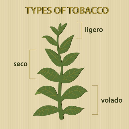 havana cigar: illustration of different types of tobacco depending on the leaves of plant