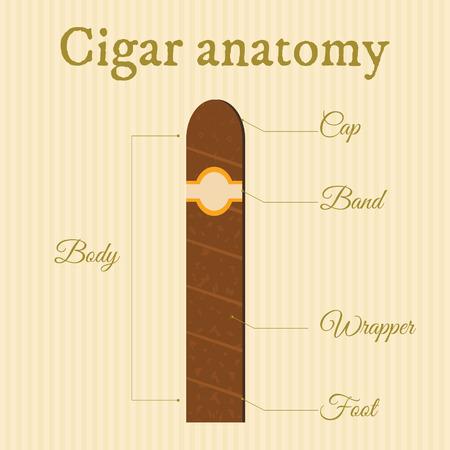 havana cigar: anatomy of a cigar on striped background