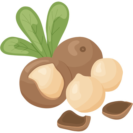 filberts: vector illustration of macadamia nut on isolated background