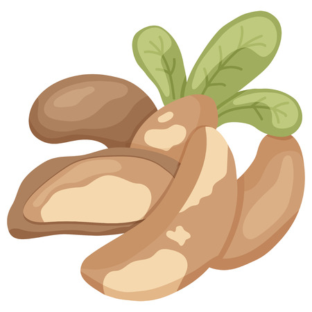 brazil nut: vector illustration of brazilian nuts and leaves on isolated background Illustration