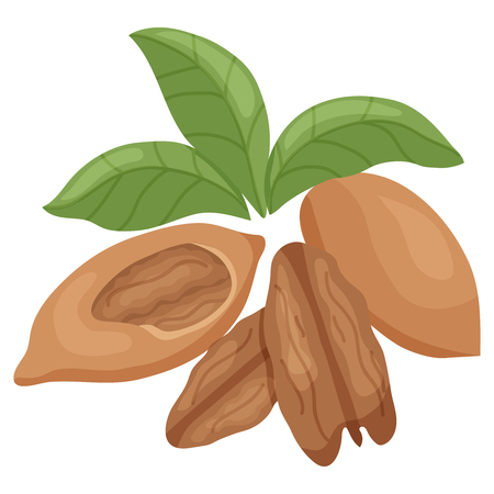 pecan: vector illustration of pecan nut kernel and leaves on isolated background Illustration