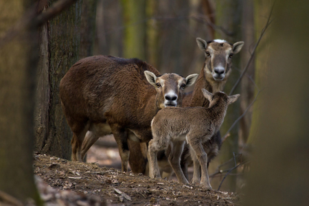 mouflon: Mum behave young mouflon children