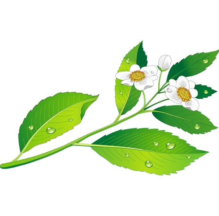 Vector branch of green tea with flowers and leaves