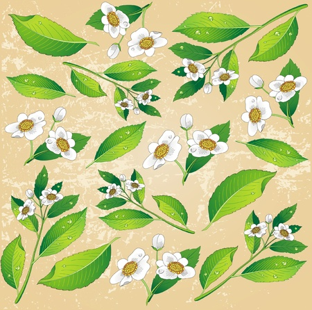 Background with a painted green tea leaves and white flowers  Vector