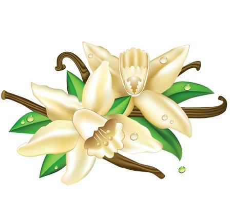 Vector illustration vanilla flowers  Illustration