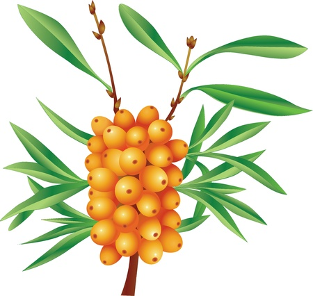 Branch of sea-buckthorn berries with berries Vector