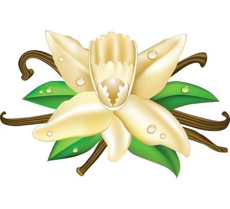 vanilla flowers Vector