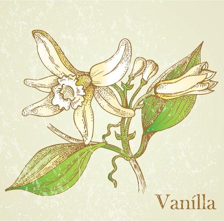 flor de vainilla: Vector flores ilustración de vainilla Vectores