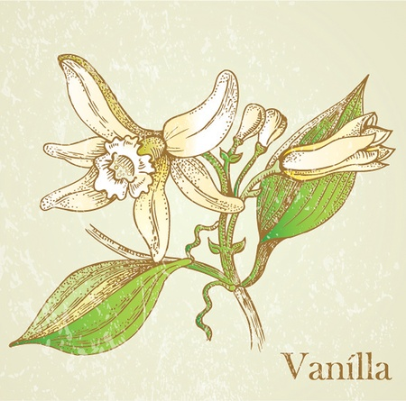 indian spices: Vector illustration vanilla flowers