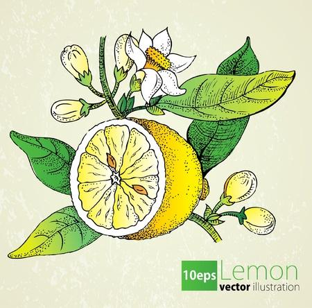 Lemon flowers   leaf set in retro style Ilustração
