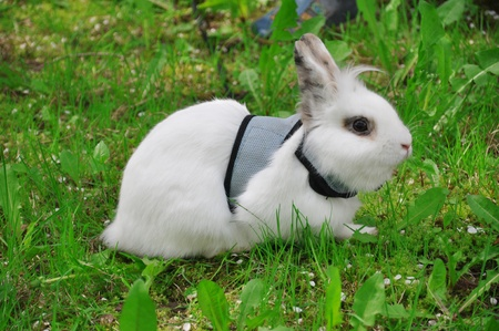 white dwarfish rabbit photo