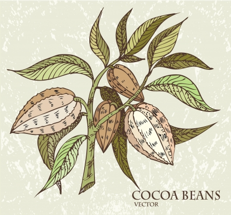 husk: Cocoa beans with green leaves  Illustration