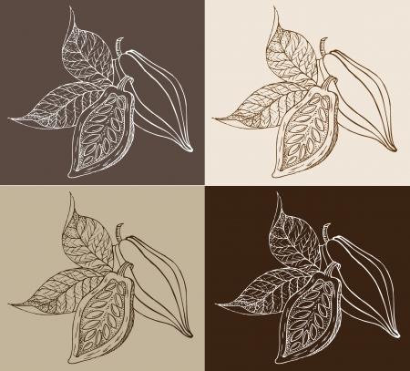 cocoa fruit: cocoa beans