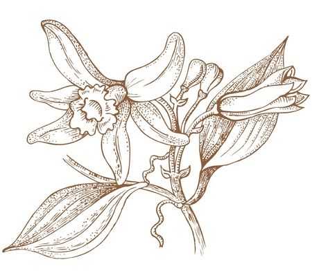 indian spices: vanilla flowers