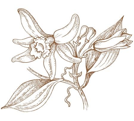 vanille bloemen Vector Illustratie