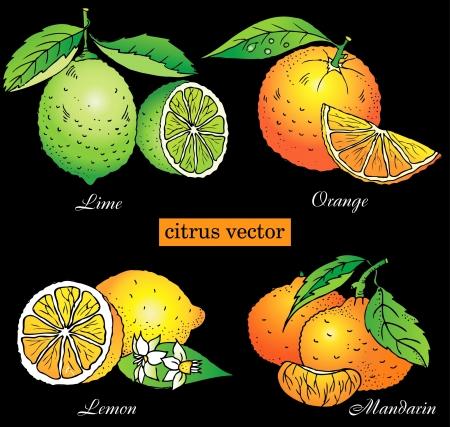 lima limon: Citrus vector conjunto de naranja, lim�n, lima, mandarina