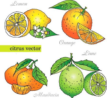 lemon lime: Citrus vector set di arancia, limone, lime, mandarino