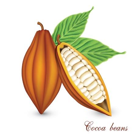 judias verdes: bobs cacao Vectores
