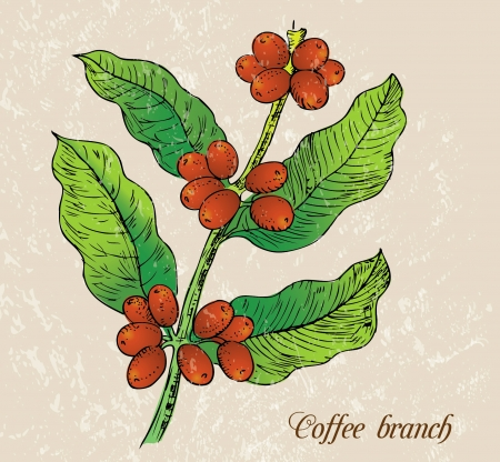 plante tropicale: Illustration - branche de caf�