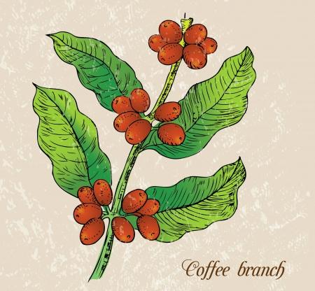 chicchi di caff�: Illustrazione - ramo di caff�