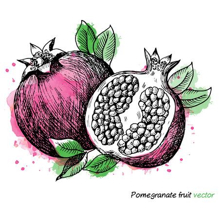 Fruta de granada. Ilustración vectorial
