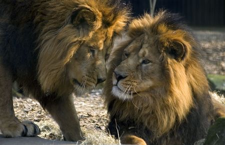 dangerous love: Two male lions Stock Photo
