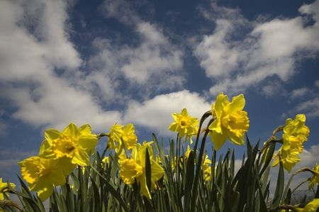narcissist: yellow crocusses with cloudy blue background