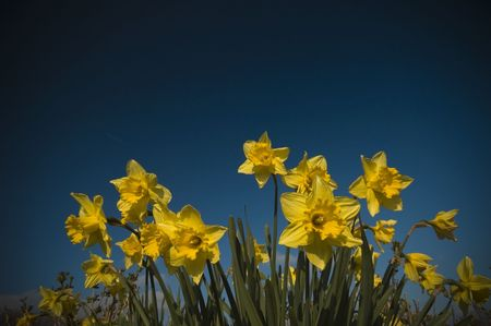 narcissist: Yellow Crocusses against blue background with vignet Stock Photo