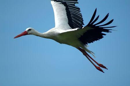 stork in flight Stock Photo