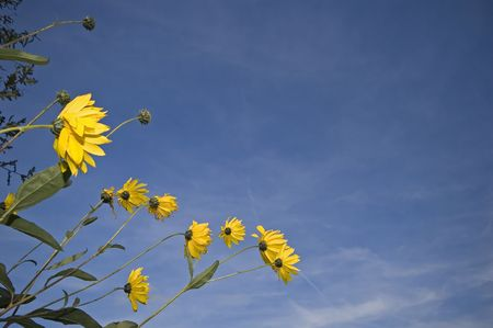 narcissist: yellow flower against blue sky, shot from behind