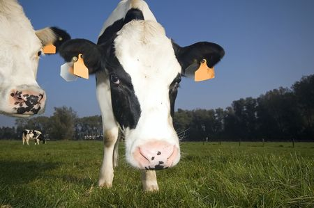 flemish cow in the field, looking at the lens Stock Photo - 641279