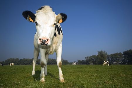 flemish cow in the field with blue sky Stock Photo - 641278