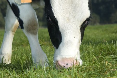 close up of a cow grazing in the field Stock Photo - 641277