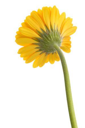 yellow flower isolated on white background Stock Photo