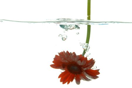 Red flower under water isolated on white background photo