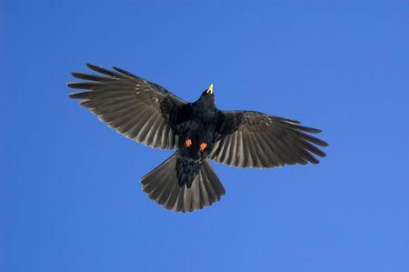 black bird soaring through a blue sky