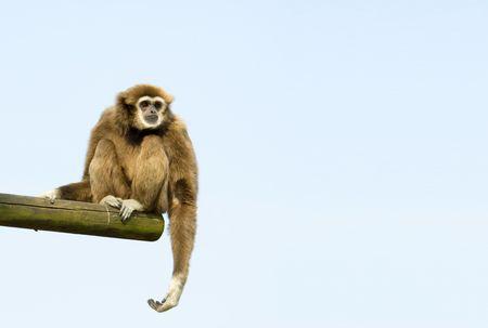 White-Handed Gibbon Sitting Down on a log against blue sky