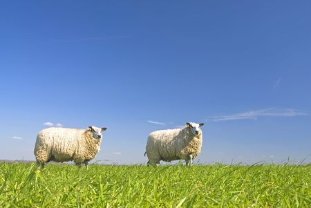 naivety: sheep on grass with blue sky, standing on a hill