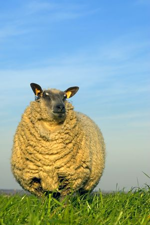 naivety: sheep on grass with blue sky, looking at the camera