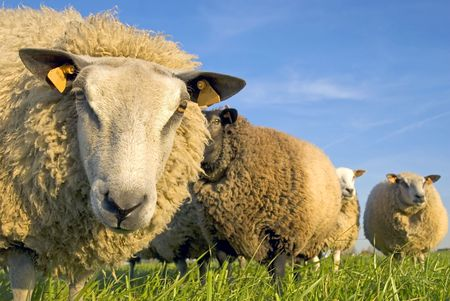 sheep on grass with blue sky, looking at the camera photo
