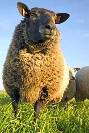 sheep on grass with blue sky, looking at the camera