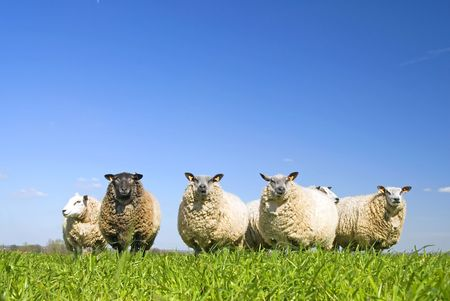 lots of sheep on grass with blue sky, some looking at the camera Stock Photo