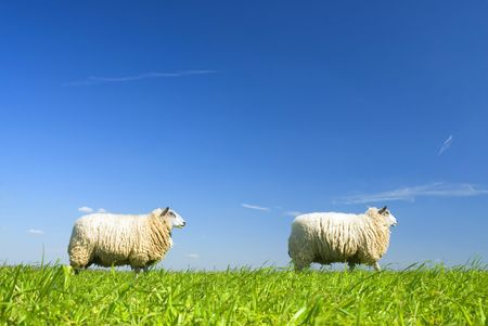 naivety: two sheep walking by on grass with blue sky Stock Photo