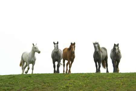 herd of horses on the horizon isolated on a white sky, standing on grass Stock Photo