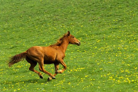 chasing tail: galloping horse with green natural background full of yellow flowers Stock Photo