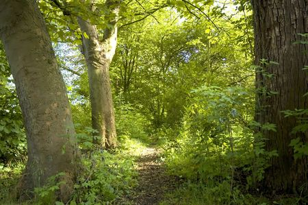 path through lush green forest photo