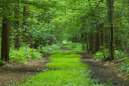 path through lush green forest photo