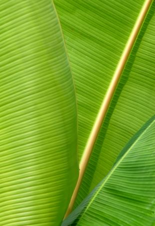 Close-up of some banana leafs photo