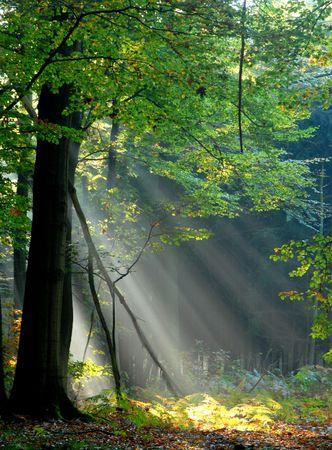 rayos de sol: rayos de sol que vierten en el bosque del otoño que crea un ambiance mystical
