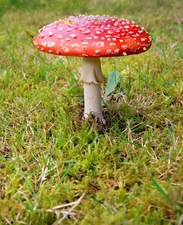 Toadstool with red spotted cap in the grass photo